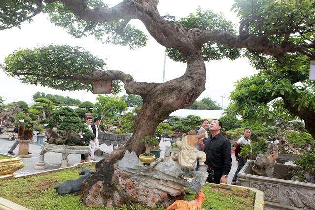 Sửng sốt với cây khế cổ dáng Long đẹp nhất Việt Nam có giá 5 tỷ đồng - 5