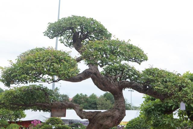 Sửng sốt với cây khế cổ dáng Long đẹp nhất Việt Nam có giá 5 tỷ đồng - 8