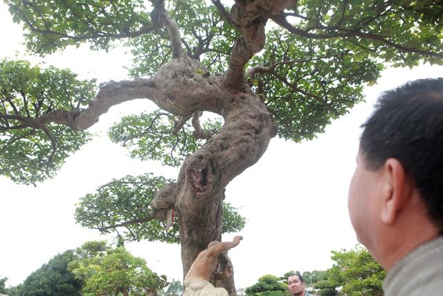 Sửng sốt với cây khế cổ dáng Long đẹp nhất Việt Nam có giá 5 tỷ đồng - 9
