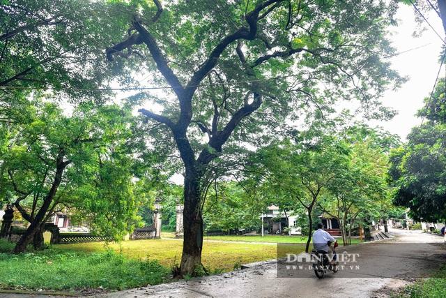 Chiêm ngưỡng cây sưa trăm tuổi ở Hà Nội, trả 60 tỷ đồng không bán - 2
