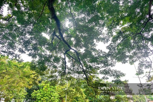 Chiêm ngưỡng cây sưa trăm tuổi ở Hà Nội, trả 60 tỷ đồng không bán - 11