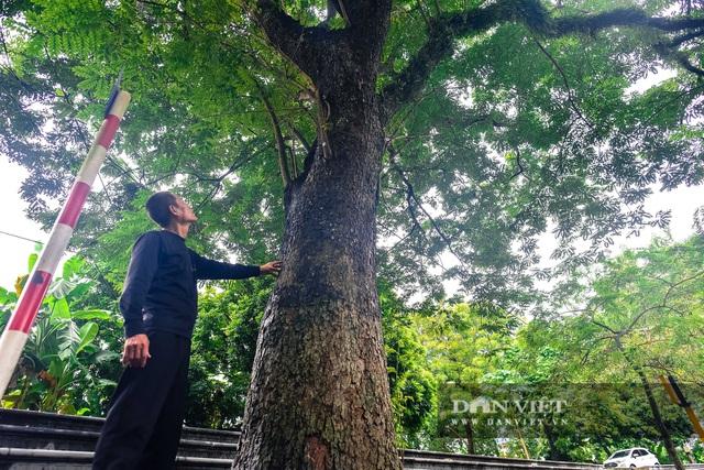 Chiêm ngưỡng cây sưa trăm tuổi ở Hà Nội, trả 60 tỷ đồng không bán - 3