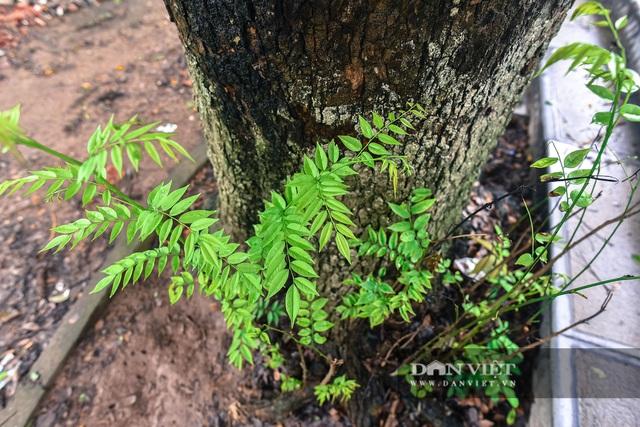 Chiêm ngưỡng cây sưa trăm tuổi ở Hà Nội, trả 60 tỷ đồng không bán - 8
