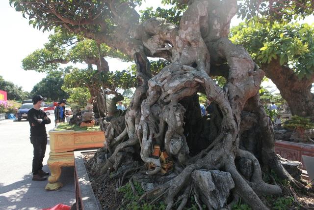 """""""Siêu cây"""" của nông dân Thái Bình được trả 10 tỷ đồng vẫn lắc đầu không bán - 11"""