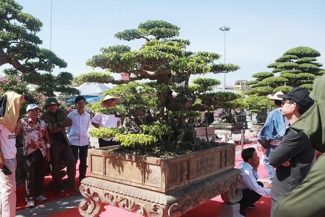"""""""Siêu cây"""" của nông dân Thái Bình được trả 10 tỷ đồng vẫn lắc đầu không bán - 3"""