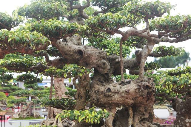 """""""Siêu cây"""" của nông dân Thái Bình được trả 10 tỷ đồng vẫn lắc đầu không bán - 7"""