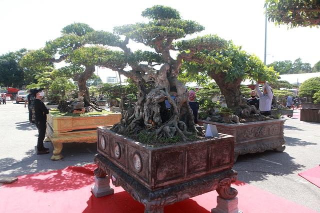 """""""Siêu cây"""" của nông dân Thái Bình được trả 10 tỷ đồng vẫn lắc đầu không bán - 9"""