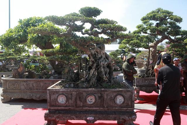 """""""Siêu cây"""" của nông dân Thái Bình được trả 10 tỷ đồng vẫn lắc đầu không bán - 10"""