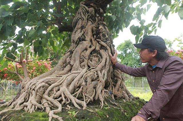 Chiêm ngưỡng cây bồ đề đỏ trăm tuổi, đại gia trả 2 tỷ đồng không bán - 9