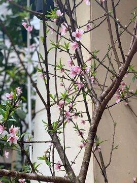 Đón Tết sớm: Hoa đào, hoa lê bung nở khiến dân Hà thành