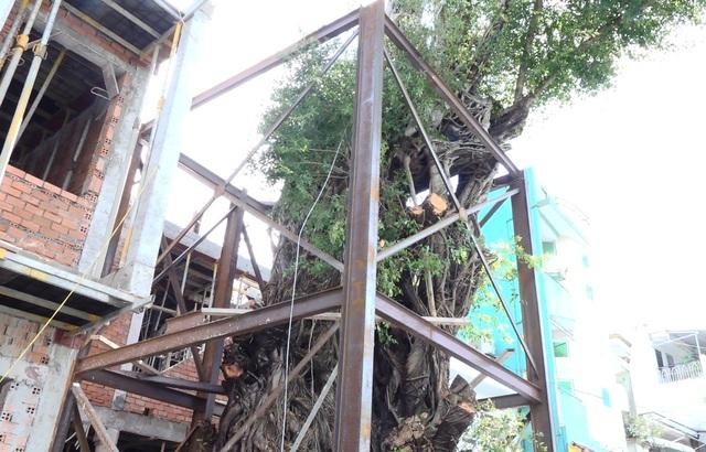 Hơn nửa tỷ đồng gia cố cây da cao hơn tòa nhà 4 tầng - 2