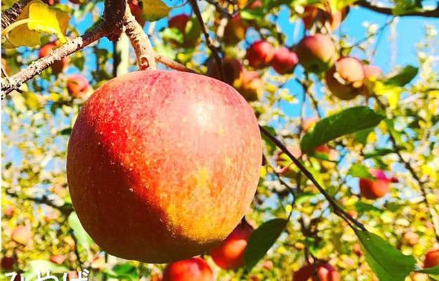 Tiết lộ về loại táo trong như mật ong, nhà giàu đổ tiền tỷ mua ăn - 3