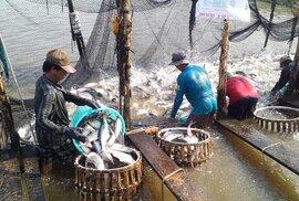 Cá tra Việt Nam gặp