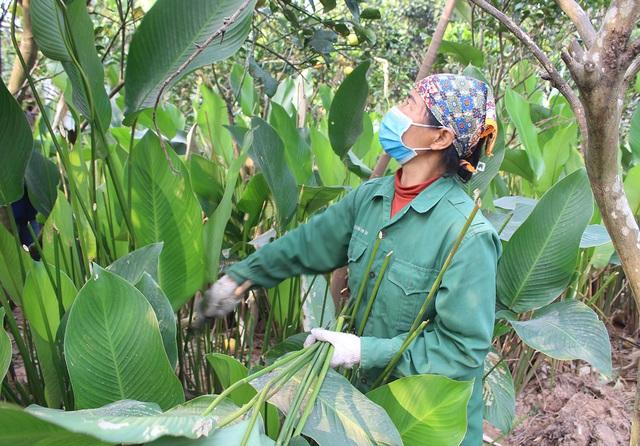 Hồ hởi thu hoạch ngọc xanh, dân Hà Nội kiếm tiền triệu mỗi ngày dịp Tết - 1