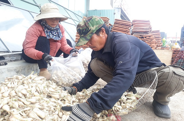 Giá kiệu Tết tăng cao, nông dân phấn khởi thu lãi tiền triệu mỗi sào