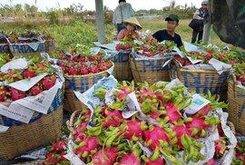 Thương lái Trung Quốc ép giá, người trồng thanh long lao đao
