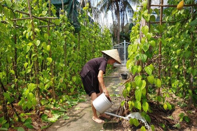 Cả làng ấm no nhờ trồng lá trầu để... xuất ngoại - 1