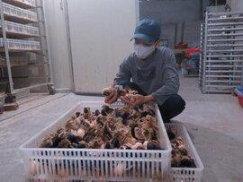 Đổ vạn con gà giống xuống ao cho cá ăn: Khóc ròng vì mất hết vốn làm ăn