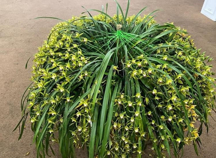 Sự thật về loài hoa lan vua chúa chỉ mấy chục ngàn đồng mua cả ôm