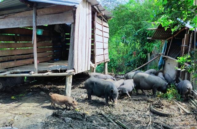 Kỳ lạ giống lợn đen đồng bào nuôi không kịp lớn để bán - 2