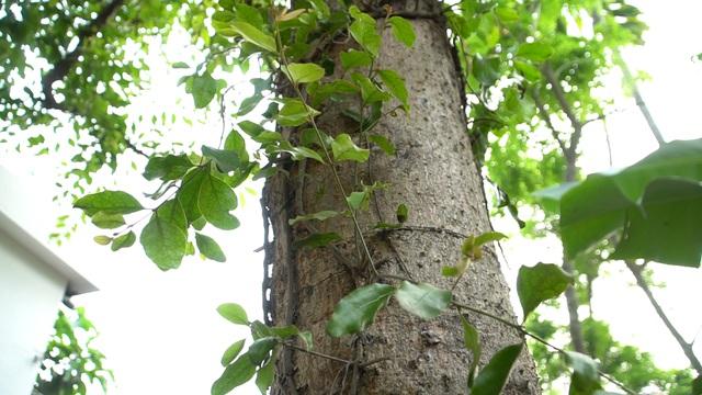 Choáng với loại tầm gửi quấn quanh thân cây được hét giá 1 triệu đồng/kg - 1