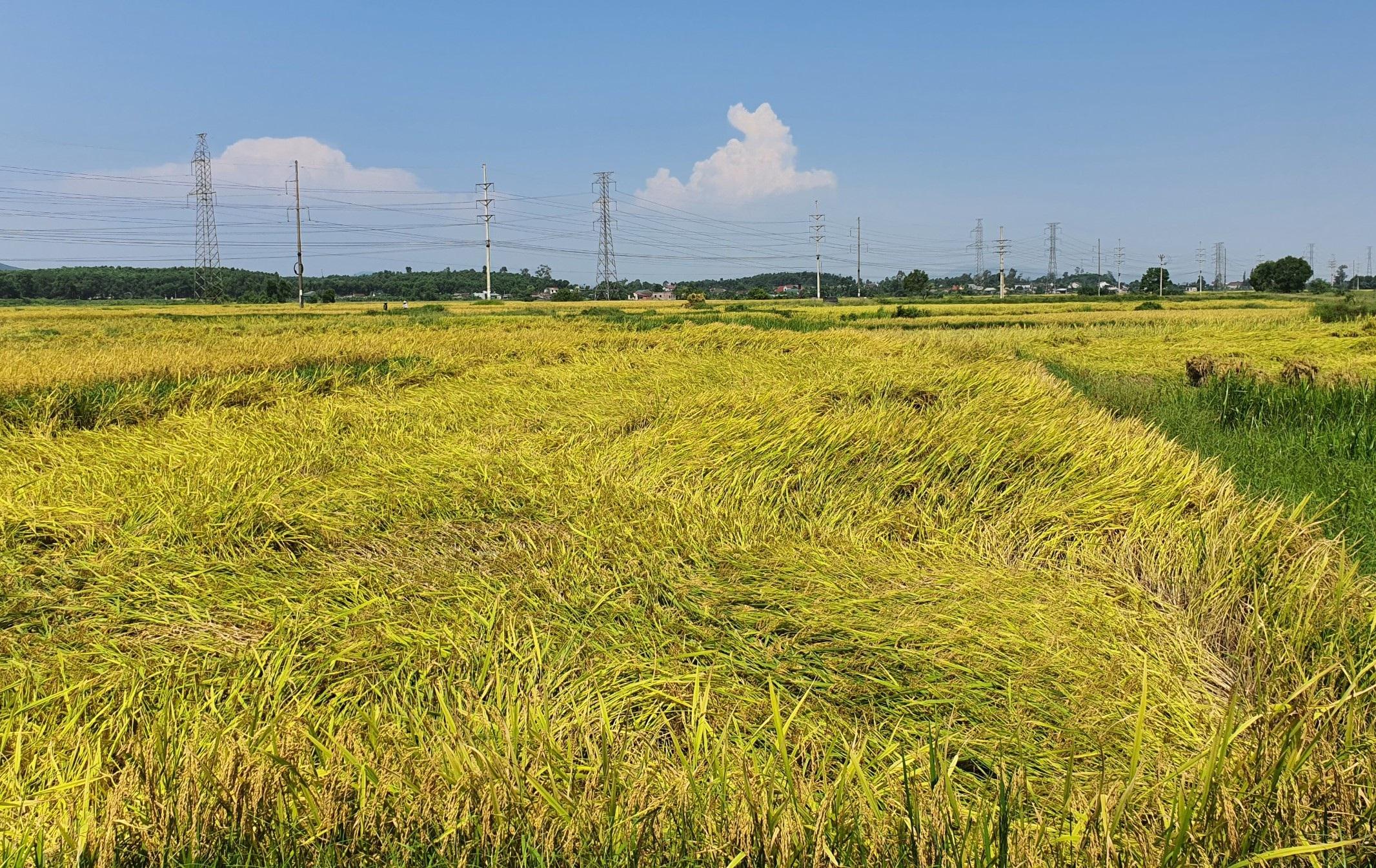 Máy gặt không dám đến ruộng, nông dân