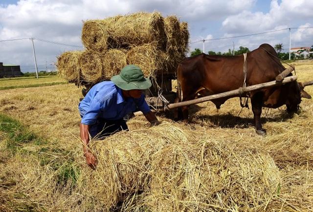 Đội nắng 40 độ C, nông dân kiếm tiền từ nghề cuộn rơm thuê - 5