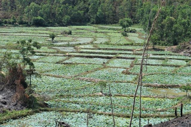 Cả làng trồng sen, chỉ bán hạt cũng lãi gấp đôi so với trồng lúa - 2