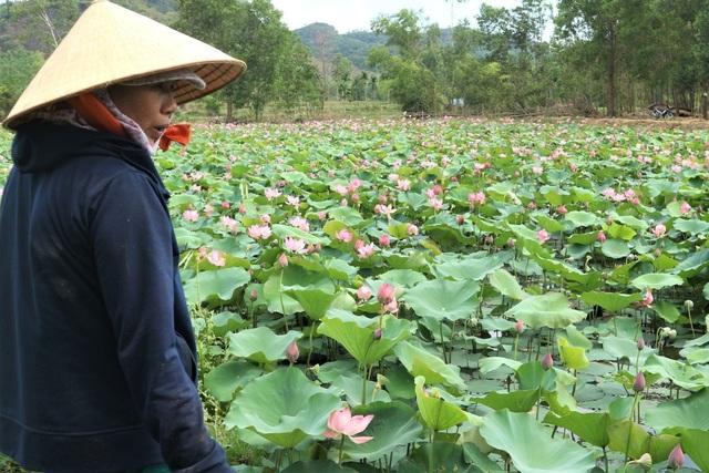 Cả làng trồng sen, chỉ bán hạt cũng lãi gấp đôi so với trồng lúa - 4