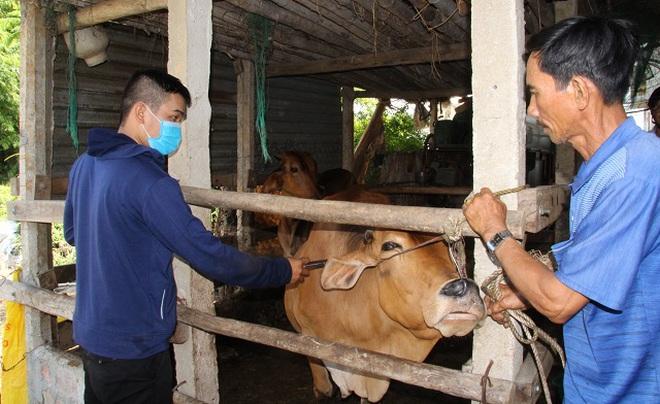 Gần 1.000 con bò da lở loét, nổi u cục bất thường, nông dân lo sốt vó - 2