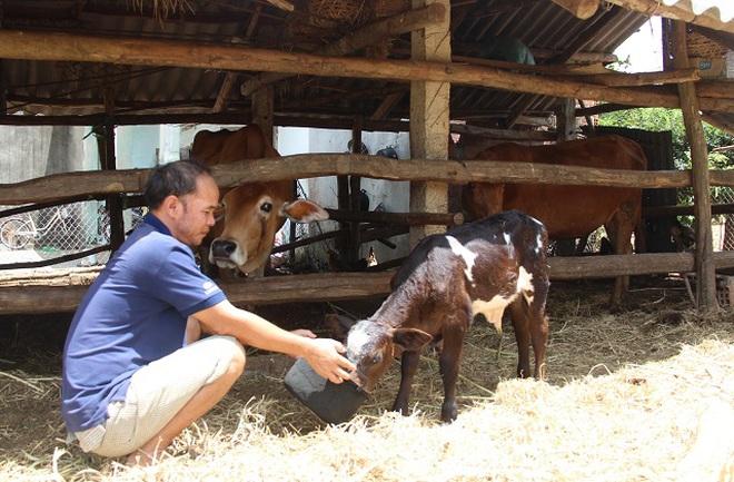 Gần 1.000 con bò da lở loét, nổi u cục bất thường, nông dân lo sốt vó - 3