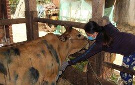 Gần 1.000 con bò da lở loét, nổi u cục bất thường, nông dân lo sốt vó