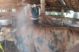 Gần 1.900 trâu, bò chết vì bệnh mới, nông dân thiệt hại tiền tỷ