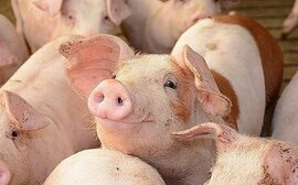 Giá thịt lợn giảm sâu, người chăn nuôi Trung Quốc đau đầu với khoản vay nợ