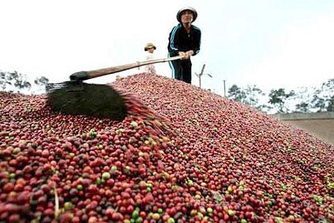 Đề nghị Chính phủ hỗ trợ người trồng cà phê do giảm giá