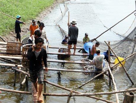 Giải pháp vực dậy ngành cá tra: DN vẫn thấp thỏm chờ