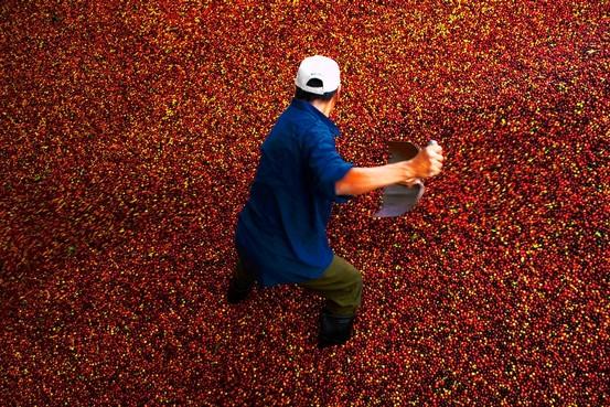 Hàng loạt doanh nghiệp cà phê bị thanh tra