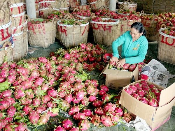 Cầu tăng mạnh, giá thanh long ở Tiền Giang tăng cao