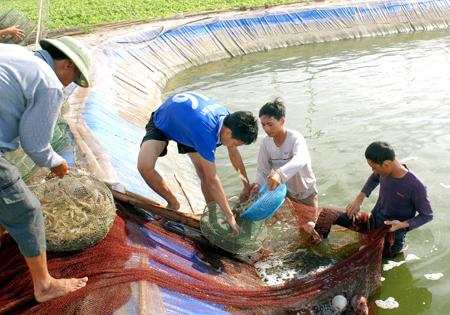 Việt Nam đứng thứ 3 thế giới về sản lượng tôm