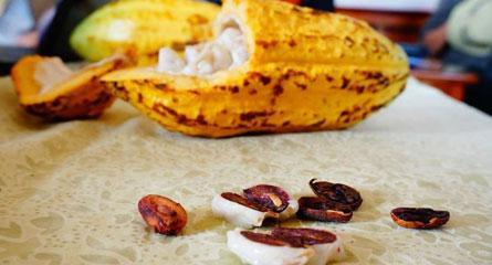 Giấc mộng toàn cầu của cacao Việt
