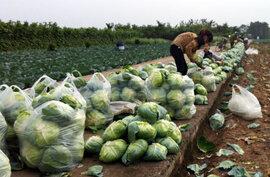 Làm giàu từ nghề trồng rau
