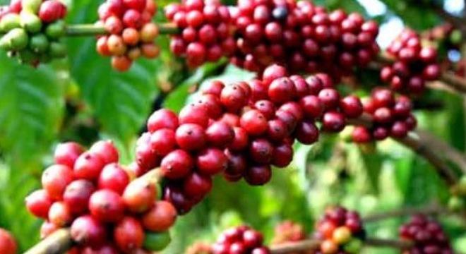 BBC công bố sự thật cay đắng về cà phê Việt Nam