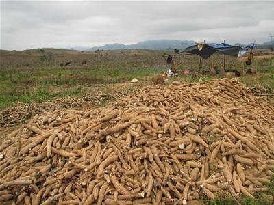 Xuất khẩu sắn Việt Nam đứng thứ 2 thế giới