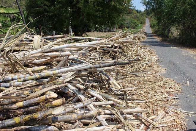 Khánh Hòa: Tài xế không chở mía, gây thiệt hại cho nông dân