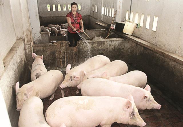 """TPP có """"nhấn chìm"""" Ngành chăn nuôi trong nước?"""
