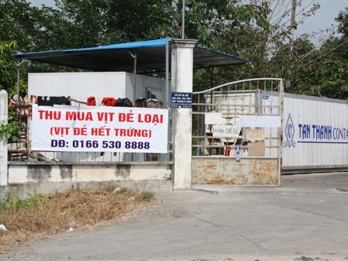 Thương lái Trung Quốc căng biển thu mua vịt đẻ ở Cần Thơ.