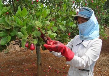 Đồng Nai: Điều mất mùa, rớt giá