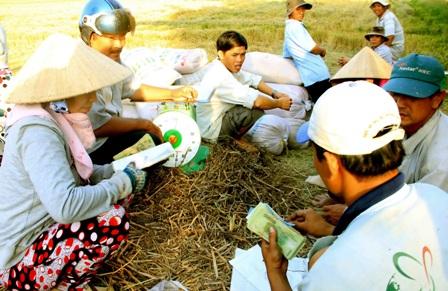 ĐBSCL: Thương lái về vùng sâu, vùng xa mua lúa