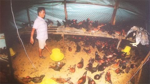 """Trở thành """"đại gia"""" từ 300 con gà giống"""