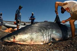 Vây cá mập hết thời